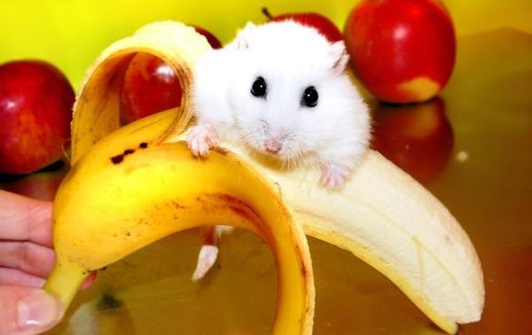 Хомячок на банане